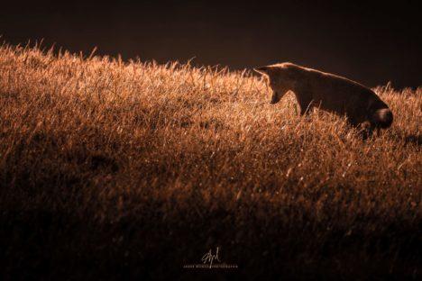 un renard roux qui chasse