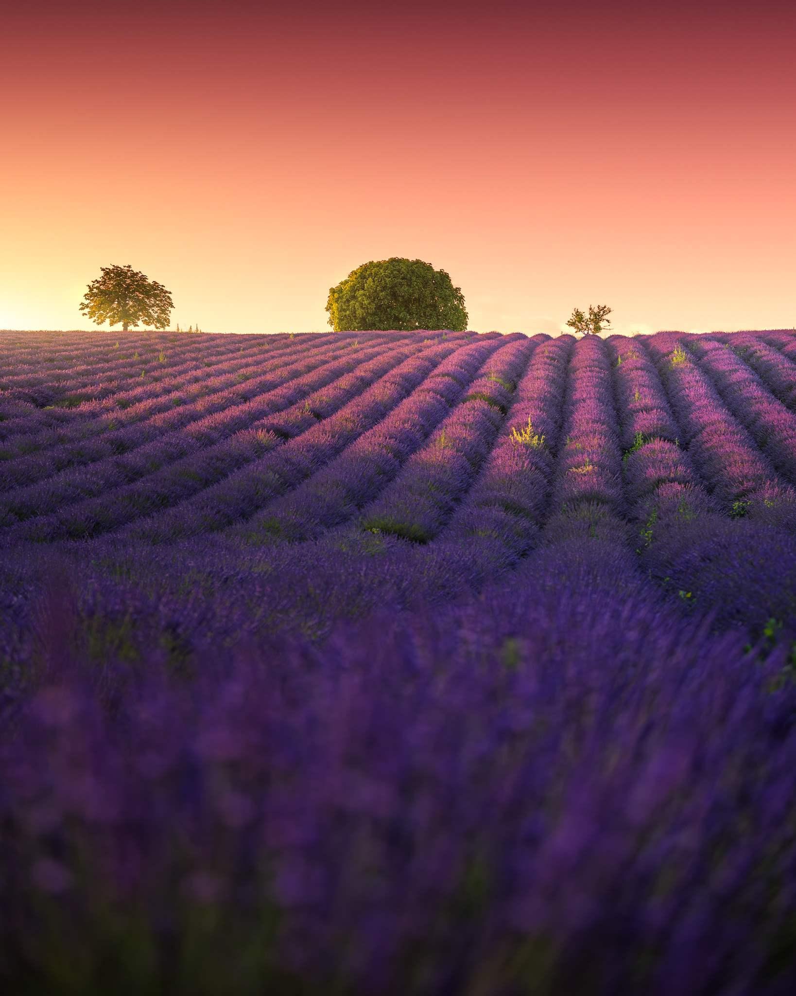 Valensole lavande de Provence