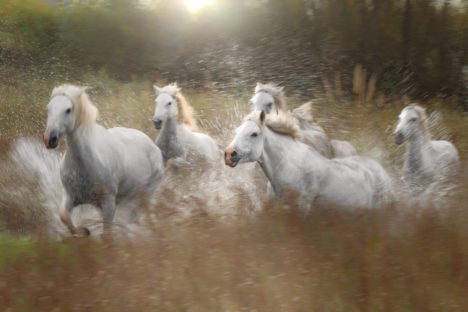 Stage photo Camargue et chevaux sauvages